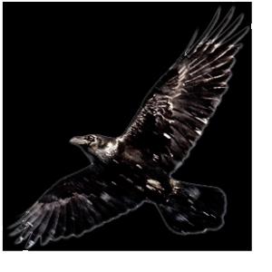 ill_Raven_1 (1)